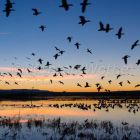 Snow Geese, flight at sunrise, Anser caerulescens atlanticus, Bosque del Apache, New Mexico, USA