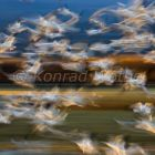 Snow Geese flight, abstract, Bosque del Apache, Anser caerulescens atlanticus, New Mexico, USA