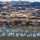Snow Geese wintering in Bosque del Apache, Anser caerulescens atlanticus, New Mexico, USA