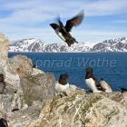 Little Auks, Alle alle, Spitsbergen, Norway