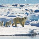 Polarbear-mother with cubs on icefloe, Spitsbergen, Norway,Ursus maritimus