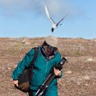 Arctic Tern attacking tourist, Spitsbergen Norway