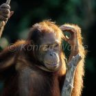 young Orang Utan in tree thoughtful Pongo pygmaeus Tanjung Puting Nationalpark Borneo