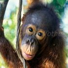 young Orang Utan in tree, Pongo pygmaeus, Tanjung Puting Nationalpark Borneo, Indonesia