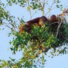 Orang Utan, female in sleeping nest, Pongo pygmaeus, Tanjung Puting Nationalpark, Borneo, Indonesia