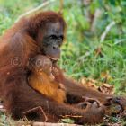 Orang-Utans, mother and baby, Pongo pygmaeus, Tanjung Puting Nationalpark, Borneo; Indonesia