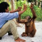 young Orang Utan playing with caretaker, Pongo pygmaeus, Tanjung Puting Nationalpark Borneo