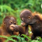 young Orang Utans playing, Pongo pygmaeus, Tanjung Puting Nationalpark, Borneo