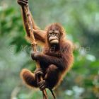 young Orang Utan in tree Pongo pygmaeus Tanjung Puting Nationalpark Borneo