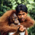 young Orang Utan with caretaker, Pongo pygmaeus, Gunung Leuser Nationalpark, Sumatra