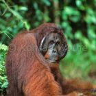 Orang Utan, male, Pongo pygmaeus, Camp Leakey, Tanjung Puting Nationalpark, Borneo