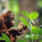 Orang Utan in tree eating Durian fruit, Pongo pygmaeus, Borneo