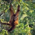 Young Orang Utan in tree, Pongo pygmaeus, Tanjung Puting Nationalpark, Borneo