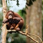 Thoughtful young Orang Utan in tree, Pongo pygmaeus, Tanjung Puting Nationalpark, Borneo, Malaysia