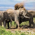 African Elephants with new born, Loxodonta africana, Amboseli Nationalpark, Kenya, Africa