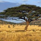 Grant's Gazelles under Acacia Tree, Gazella granti, savannah, Serengeti, Tanzania, East Africa