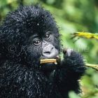 Young Mountaingorilla, Gorilla gorilla gorilla, Virunga Nationalpark, Kongo