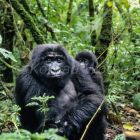 Mountaingorillas, mother with baby, Gorilla gorilla gorilla, Virunga Nationalpark, Kongo