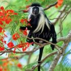 Tanzanian black-and-white Colobus eating flowers, Colobus polykomos angolensis, Kenya, East Africa