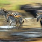 Migration, Zebras and Wildebeests in the savannah of the Serengeti, Serengeti Nationalpark, Tanzania, East Africa