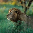 African Lion, male, Panthera leo, Serengeti Nationalpark, Tanzania, East Africa