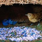 Brown Gardener in his bower with blue berries, Arfak Mountains, West Papua, Indonesia, Amblyornis inornatus