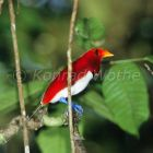 King Bird of Paradise, Cicinnurus regius, Salawati Island, West Papua, Indonesia