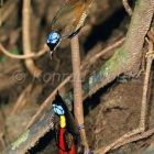 Wilson's Birds of Paradise displaying, Cicinnurus respublica, Batanta Island, West Papua, Indonesia