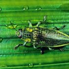 Metallic Wood-boring Beetle, West Papua, Indonesia, Asia