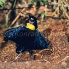 Western Parotia, male displaying, Parotia sefilata, Arfak Mountains, West Papua, Indonesia