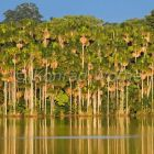 Mauriti Palm Trees at Sandoval Lake, Mauritia flexuosa, Tambopata National Reserve, Peru, South America