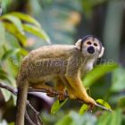 Squirrel-monkey in rainforest, Saimiri boliviensis, Tambopata Reserve, Peru, South America