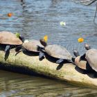 Amazon River Turtles, Podocnemis unifilis, Tambopata National Reserve, Peru, South America