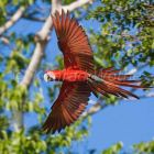 Red-and-green Macaw  in flight Ara chloroptera, Tambopata National Reserve, Peru, South America