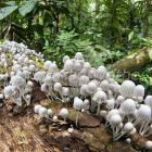 Little mushrooms on fallen tree in Rainforest, Tambopata Reserve, Peru, South America
