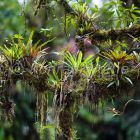 epiphytes on rainforest-tree, Tapanti Nationlpark, Costa Rica