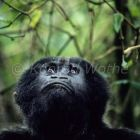 Mountaingorilla looking up, Gorilla beringei, Virunga Nationalpark, Zaire