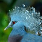 Victoria Crowned-pigeon, Goura victoria, tropical rainforest, West Papua, New Guinea, Indonesia