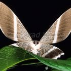 Tropic butterfly in rainforest, Danum Valley, Sabah, Borneo, Malaysia, Asia