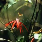 Red Passionflower, Passiflora coccinea, rainforest, Costa Rica