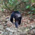 Chimpanzee, male running, Pan troglodytes, Mahale Mountains National Park, Tanzania, East Africa