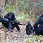 Chimpanzees, females with baby, Pan troglodytes, Mahale Mountains National Park, Tanzania, East Africa