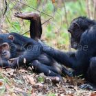 Chimpanzees, females grooming, Pan troglodytes, Mahale Mountains National Park, Tanzania, East Africa