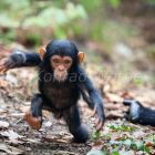 Young Chimpanzee, Pan troglodytes, Mahale Mountains National Park, Tanzania, East Africa