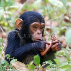 Young Chimpanzee investigating foot, Pan troglodytes, Mahale Mountains National Park, Tanzania, East Africa