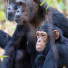 Chimpanzees, Pan troglodytes, Mahale Mountains National Park, Tanzania, East Africa