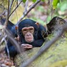 Young Chimpanzee resting, portrait, Pan troglodytes, Mahale Mountains National Park, Tanzania, East Africa