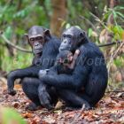 Chimpanzees, female with baby, Pan troglodytes, Mahale Mountains National Park, Tanzania, East Africa