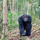 Chimpanzee, male, Pan troglodytes, Mahale Mountains National Park, Tanzania, East Africa