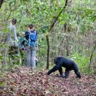 Chimpanzee and tourists, Pan troglodytes, Mahale Mountains National Park, Tanzania, East Africa